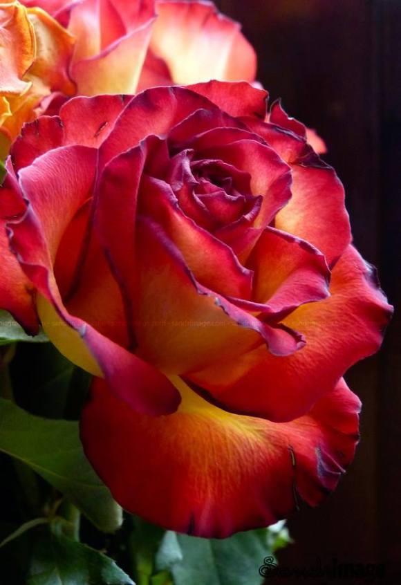 Mommy Charles's Rose garden