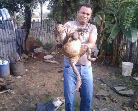 Giant frog
